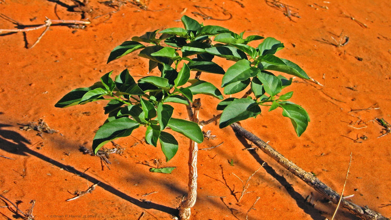 Such a healthy little tree in dead dry desert sand. Nowhere near a metre high.