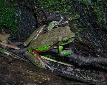 A Blue Mountains Tree Frog (Litoria citropa).