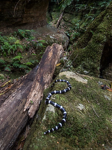 We release the Bandy Bandy snake in an open section of the canyon.