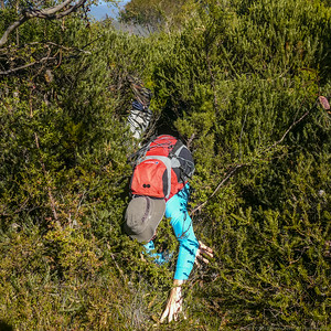 Smiffy climbs out and over the thick scrub at the top of Dunphys Pass.