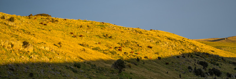 Cows enjoying the afternoon sun.