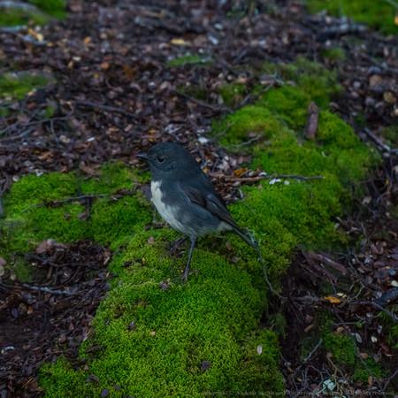 A South Island Robin (Petroica australis) pays us a visit.
