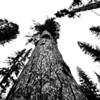 This is Gus, the US Champion Western Larch in the Girard Grove. The sky was really overcast today so I converted this to to B&W