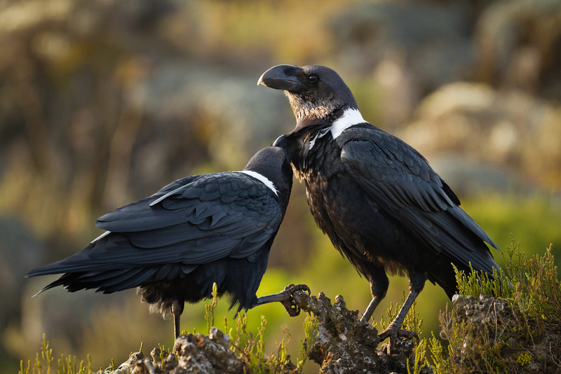 One raven preens the other, while its companion keeps watch of the approaching photographer. These ravens are more intelligent than most other birds, and are social by nature. All of the ravens we saw were paired. These birds stand by each other and mate for life.