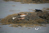 Seals taking a sun bath on the Isle of Harris.