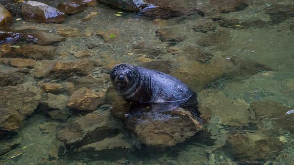 A seal pup in Ohau Stream.