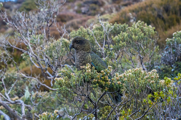 A Kea comes to check us out.