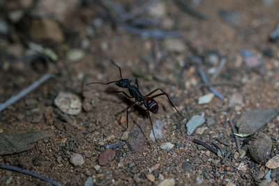 An ant forages at Ormiston Gorge  camp ground.