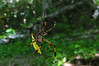 Golden Orb Spider common to the island