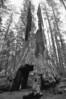 Tunnel Tree in the Tuolumne Grove of Giant Sequoias
