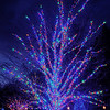 This blue tree was in the Longwood Gardens Christmas display.