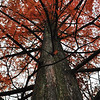 Dawn Redwood tree - the tallest one east of the Missippi