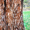 The bark on the giant sequoia tree