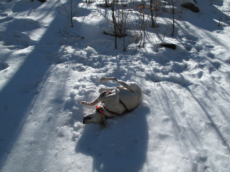 2012-01-07 Calli rolling in the snow