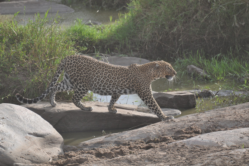 Leopard on the hunt along the river banks