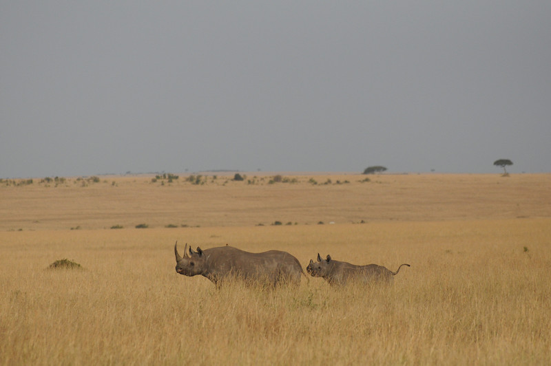 Black Rhino mother and baby in the hill country area of the Masi Mara