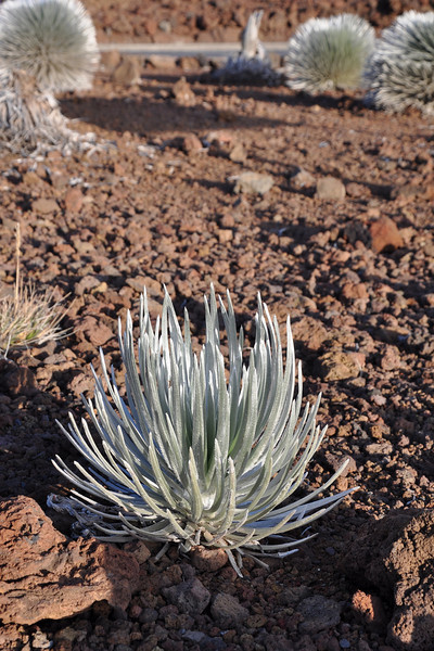 The next best thing on Haleakala are these silversword plants. They give off a shiney silver glow on a rather barren background.