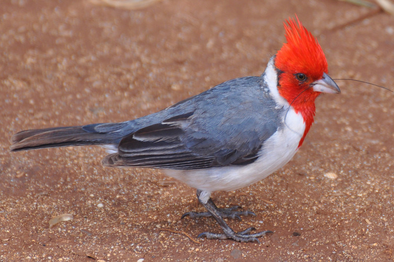 Red Headed Cardinal