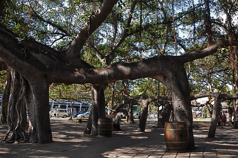 This Banyon tree was planted in the 1800's and consumes an entire park. The roots grow down from the tree and into the ground.