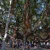 The tree is massive, notice there are a bunch of people, old barrels and light poles throughout the tree.