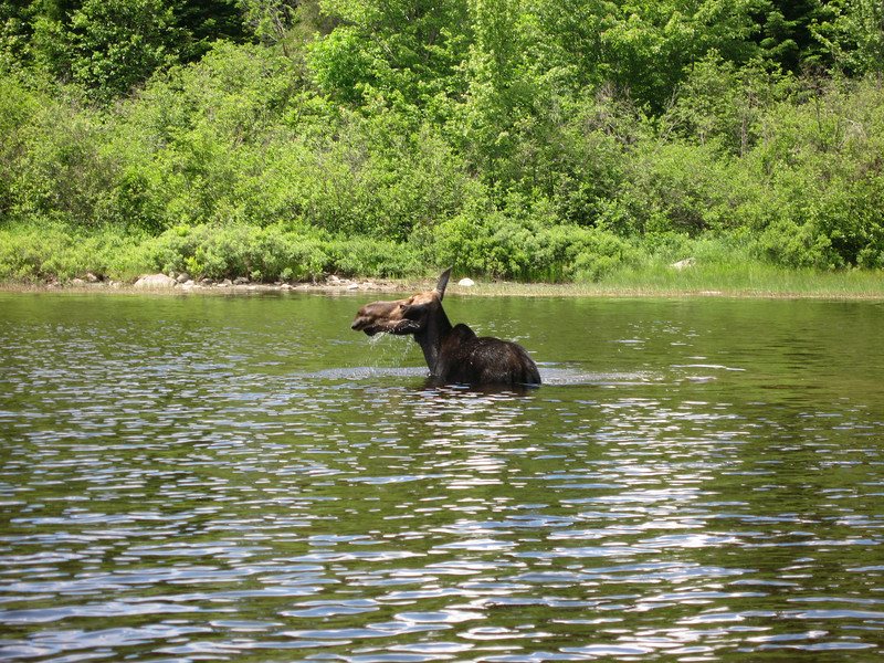 This moose was right across the river from our camp site