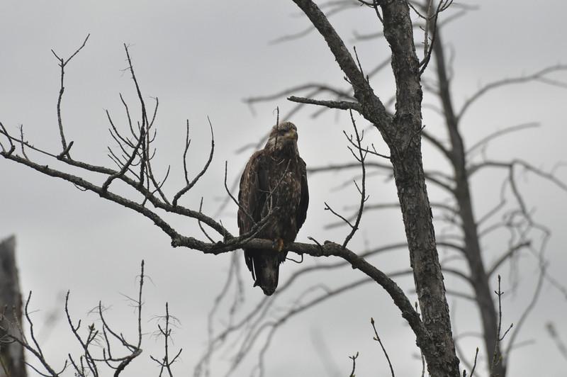 Some kind of Eagle