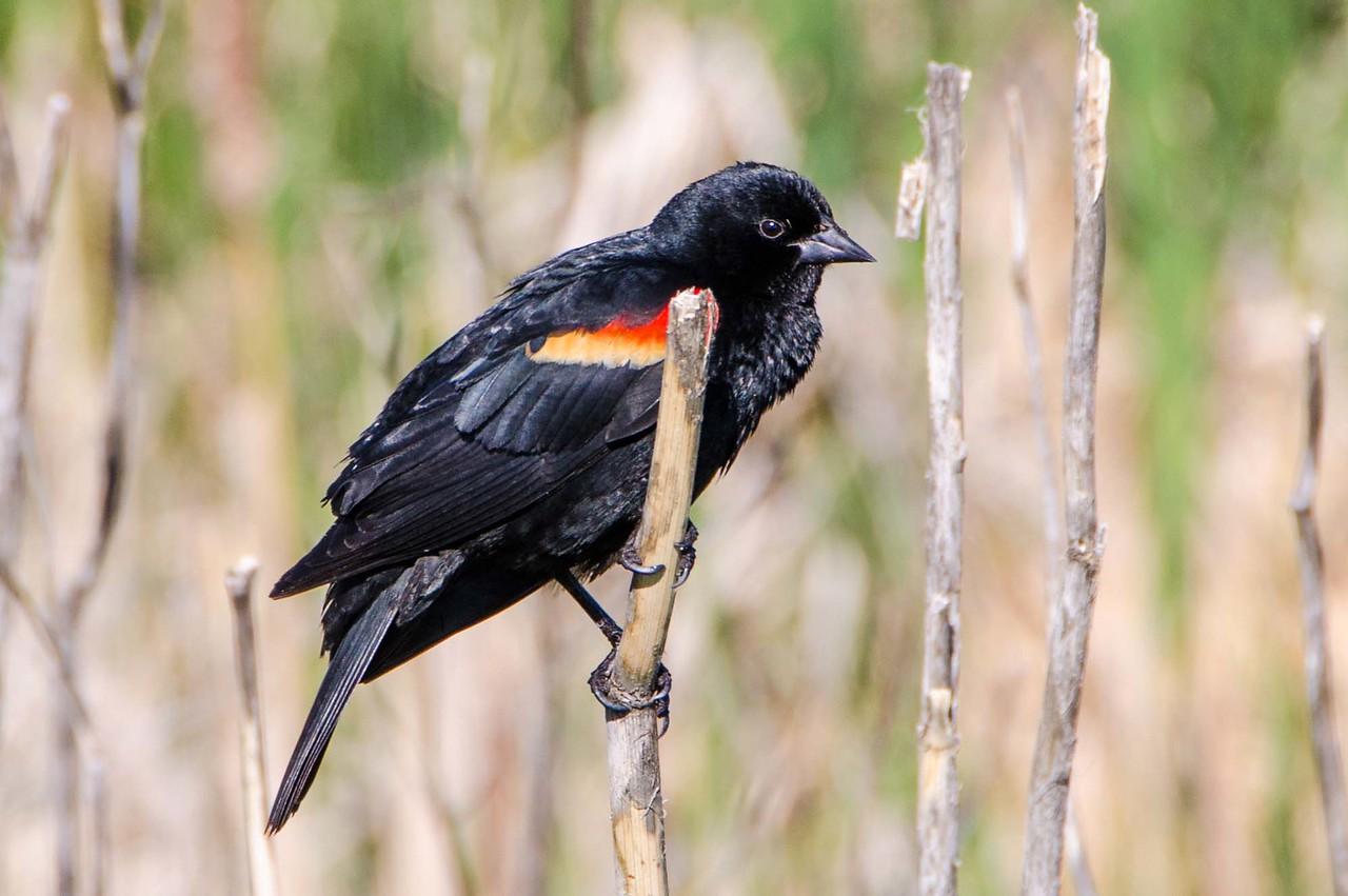 Blackbird at Walden Ponds, Boulder, CO