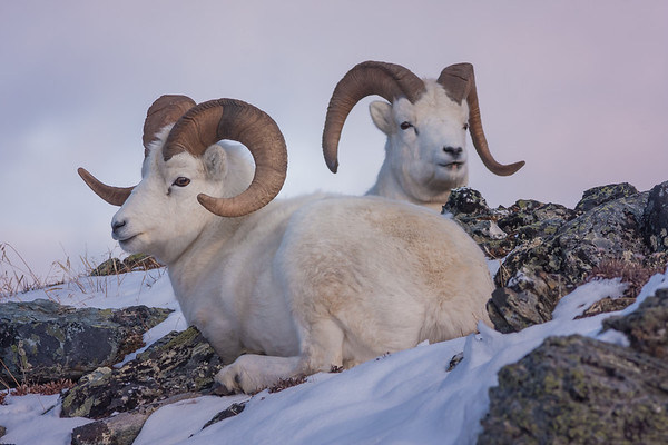 Denali Dall Sheep