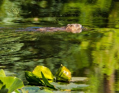 North American beaver, Lily Pad Lake, Eagles Nest Wilderness, CO, USA