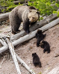 Grizzly Family, Gibbon River, Yellowstone NP.