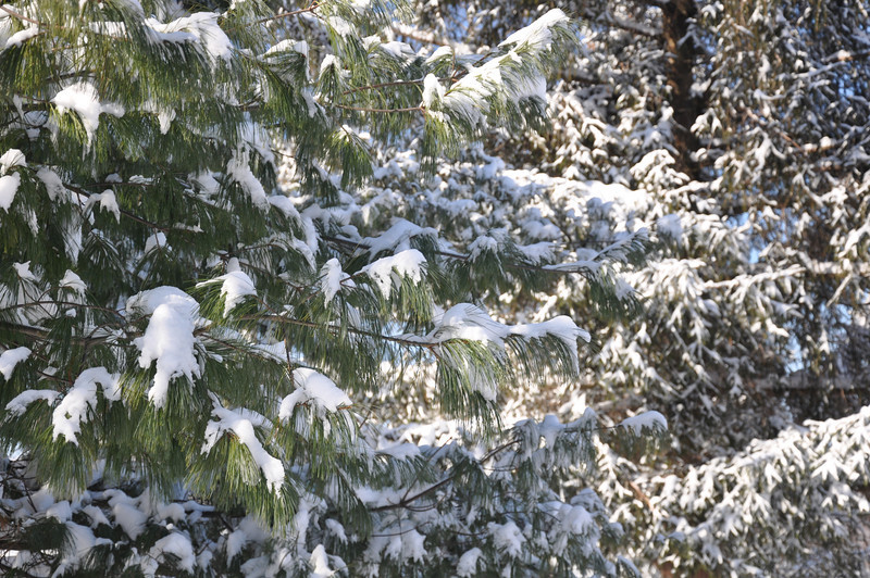 Snow on the branches of the pine trees outside Shairer Cabin