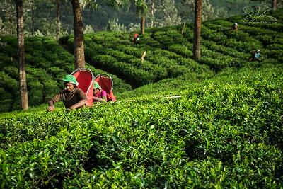 Sri Lanka - tea harvest