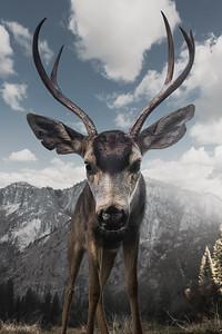 Curious Yosemite Buck