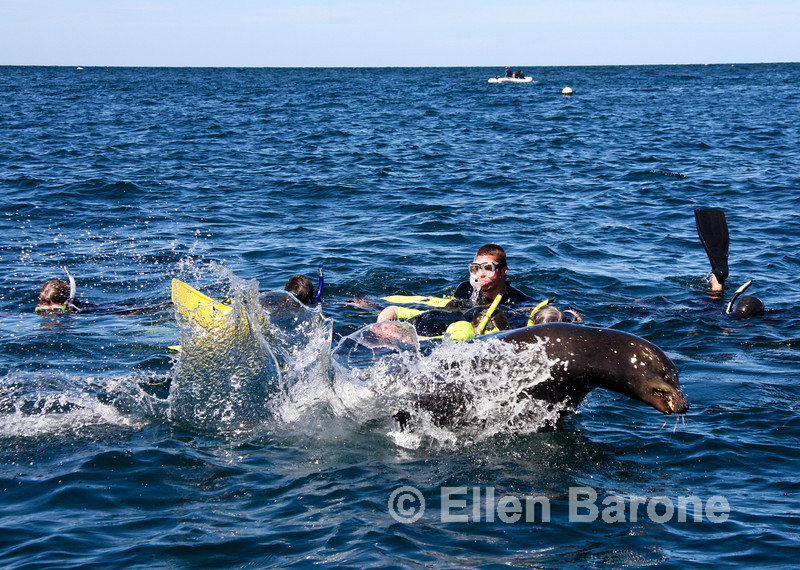 Snorkeling with sea lions at Los Islotes rookery, Sea of Cortez, Baja California, Mexico.