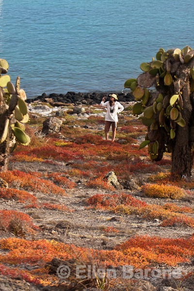 Photographing prickly pear cactus, South Plaza Island, Galapagos Islands, Ecuador.