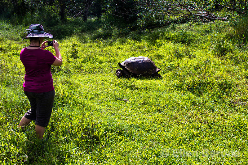 Photographing giant tortoise at Rancho Primicas, highlands, Isla Santa Cruz, Galapagos Islands, Ecuador.