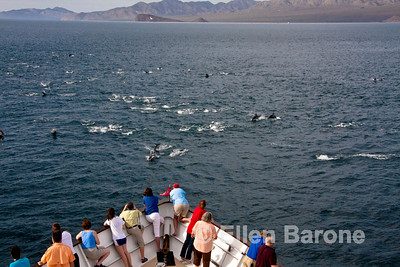 A huge pod of common dolphin races for the bow of Safari Quest in the Sea of Cortez, Baja California, Mexico.