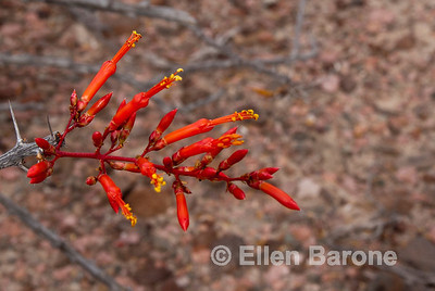 Ocotillo cactus flower, cactus forest, Isla Danzante, Sea of Cortez, Baja California, Mexico.