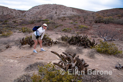 Safari Quest passenger Leslie Forsberg, cactus forest, Isla Danzante, Sea of Cortez, Baja California, Mexico.