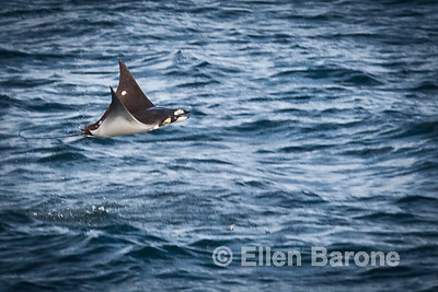 A mobula ray leaps out of the water, Sea of Cortez, Mexico.