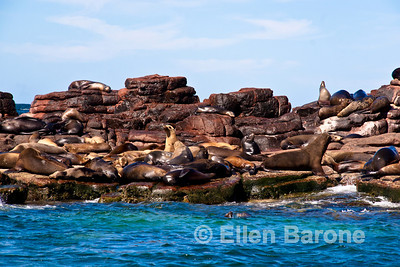 California Sea Lion(s), Los Islotes rookery, Sea of Cortez, Baja California, Mexico.