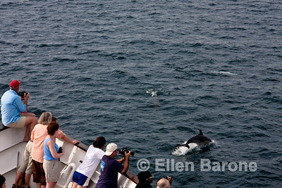 Common dolphin, Safari Quest, Sea of Cortez, Baja California, Mexico.