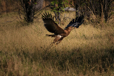 Tawny eagle in flight, &Beyond Xaranna Okavango Delta Camp, Botswana