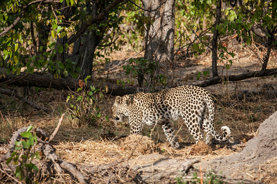 A wild leopard retreats into the forest, Moremi Game Reserve, Okavango Delta, Khwai River region, Botswana, Africa.