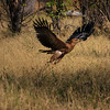 Tawny eagle in flight, Moremi Game Reserve, Okavango Delta, Khwai River region, Botswana, Africa.