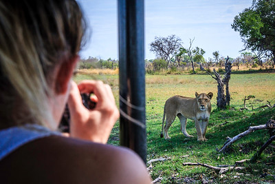 Photographing lioness from safari vehicle, &Beyond Xaranna Okavango Delta Camp, Botswana