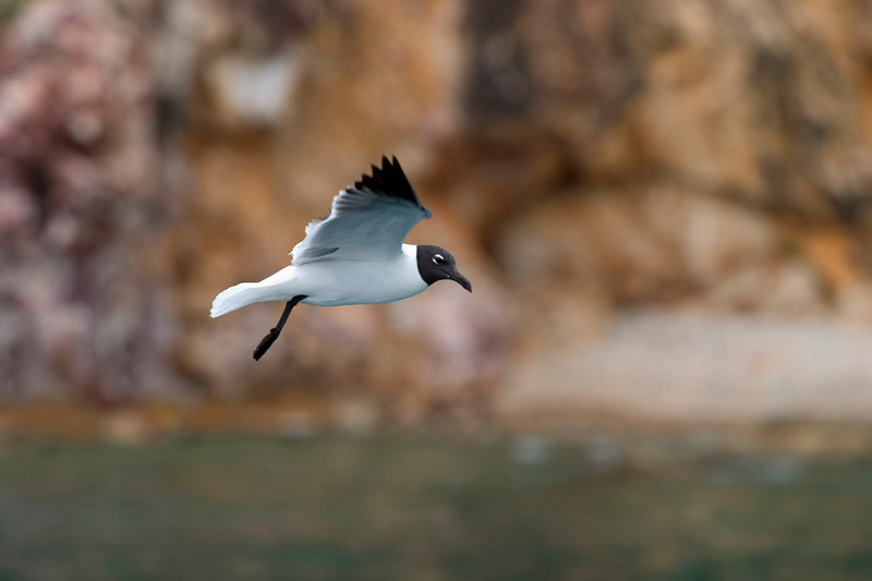 A sea gull hovers above the water, Treasure Point, Norman Island, British Virgin Islands (BVI), West Indies, Caribbean.