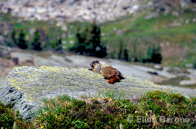 marmot, Canadian Mountain Holidays, Helihiking, Bobbie Burns Lodge, Purcell Mountains, British Columbia, Canada