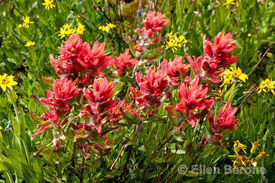Indian paintbrush and ragwort, wildflower meadow, Heli-hiking vacation, Canadian Mountain Holidays, Bugaboo Lodge, Canada.