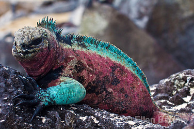 Male marine Iguana, Amblyrhynchus cristatus venustissimus, in breeding season color on Española Island, Galápagos Islands, Ecuador.